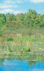 Wetland rejuvenation seed mix